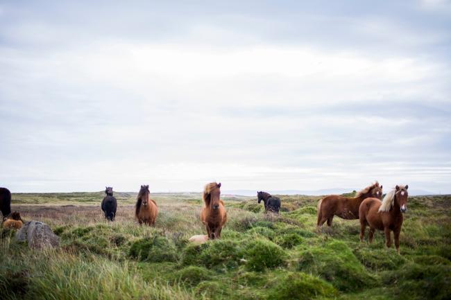 fancy horses